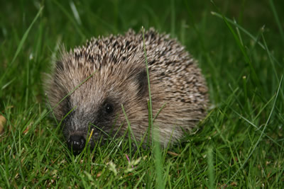 Slugs, Snails and Hedgehogs in your Garden