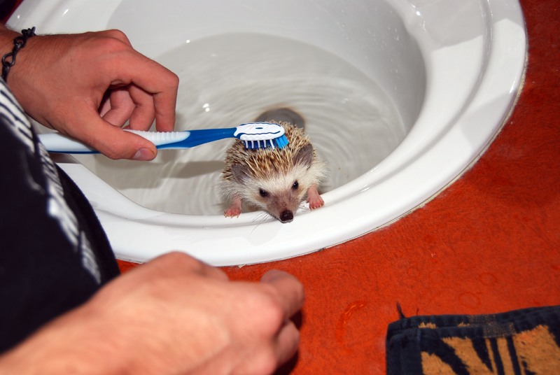 How to Bathe Your Pet Hedgehog