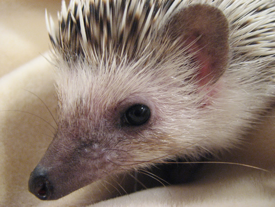 African Pygmy Hedgehogs – Emergencies