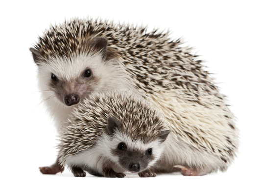 Advanced Care for Your Pet Hedgehog
