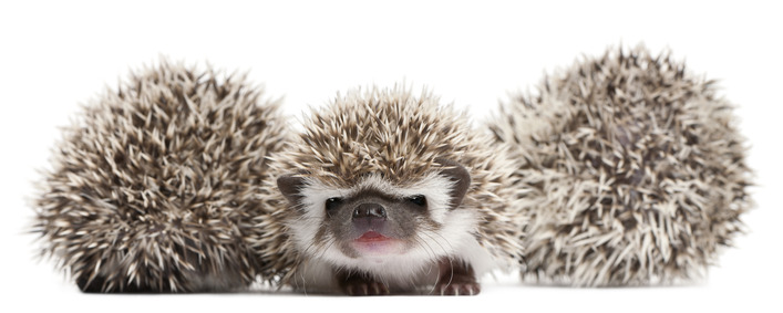 The Best Bedding for Pet Hedgehogs
