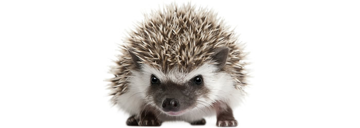 Is a Pet Hedgehog Right for You?